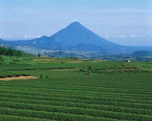 茶畑と開聞岳