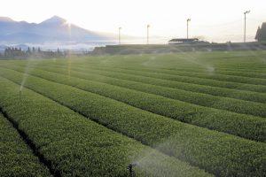 霧島市 茶畑とあさひ